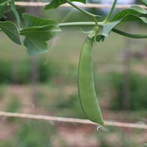 SCI-Garden-beans